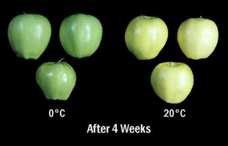 Temperature vs. Ripening