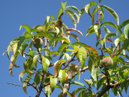 Severely nitrogen deficient peach tree