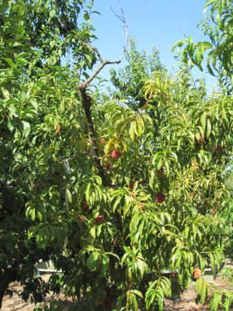 Severe potassium deficiency showing dieback and pale leaves
