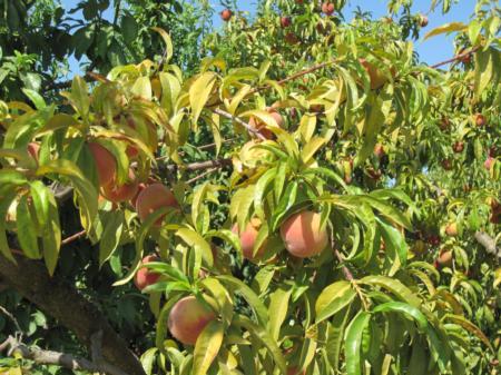 Severe potassium deficiency in peach
