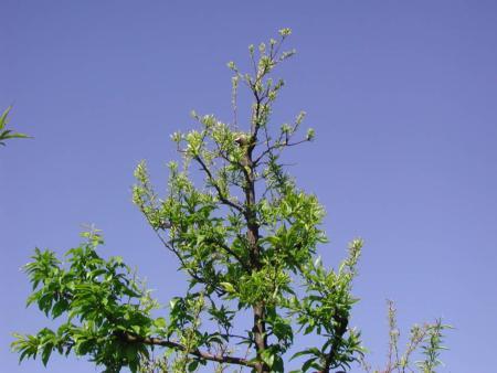 Poor growth in top of plum tree due to zinc deficiency