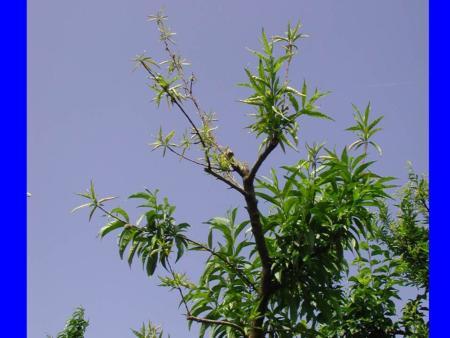 Zinc deficiency in peach tree