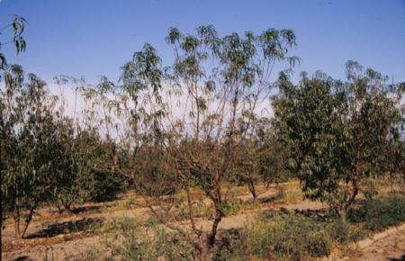Defoliation of a peach tree due to arsenic toxicity. Tree does not show