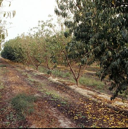 Late summer defoliation of peach trees due to arsenic toxicity