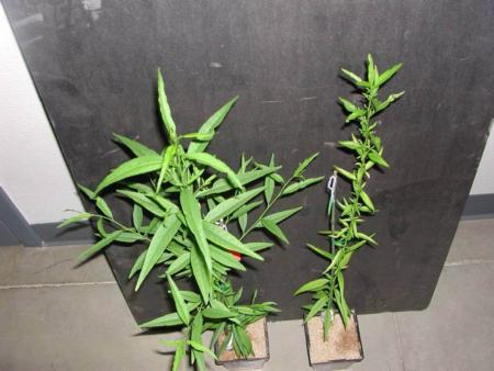 Peach seedling after treatment with foliar zinc material (left) compared to unsprayed control (right)
