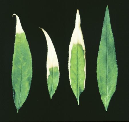Marginal leaf burn on peach leaves caused by salt toxicity
