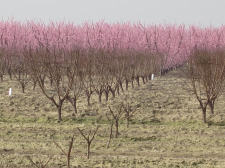 Hard pruning of 1-year-old (foreground) and 2-year-old (middle) peach trees with mature trees blooming in the background