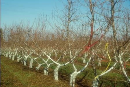 Nectarine trees trained to be short and more spreading (left) compared to typical tall and upright trees (right)