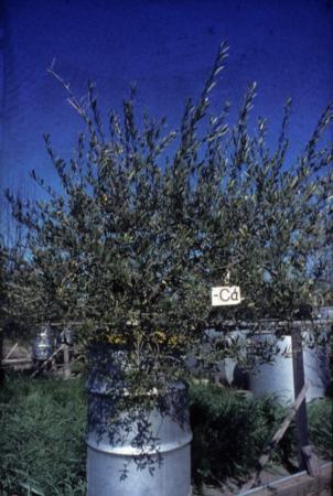 Calcium Deficient Olive