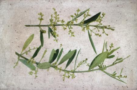 Calcium Deficiency in Olive