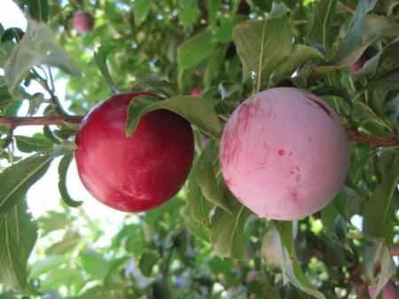 'Santa Rosa' Plums. Fruit on left has natural