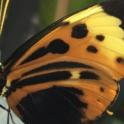 Beneficials in the garden - butterfly