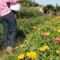 UC Master Gardener in Action 32