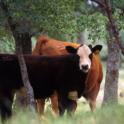 UC Beef Cattle Grazing