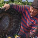 Farm worker harvesting grapes
