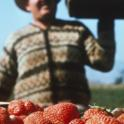 Harvested California Strawberries