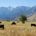 Cattle Grazing in Valley