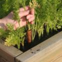 Raised Garden Bed of Carrots