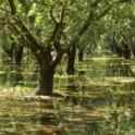 Flooded Walnut Orchard