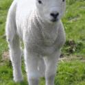 Single Lamb in Pasture