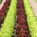 Rows of Lettuce Plants in Field