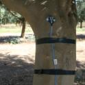 Sensors  attached to trees to measure parameters of trunk shaking