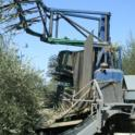 Experimental olive harvest: Harvester in the row