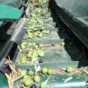 Experimental olive harvest: Olives down the harvest pathway