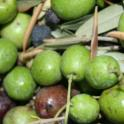 Experimental olive harvest: Olives in the bin