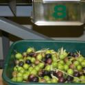 Experimental olive harvest: Graded olives