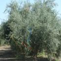 Mechanical olive pruning: Entering a row. The yellow flag indicates a row for hedging