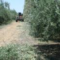 Mechanical olive pruning: A hedged row