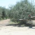 Mechanical olive pruning: Trees are skirted to 30 inches from the ground