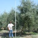 Mechanical olive pruning: Bobby of Laux Management measures the height of the tree before topping