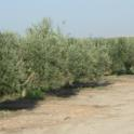 Mechanical olive pruning: Topped trees are on the right; trees on the left were skirted only