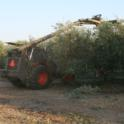 Mechanical olive pruning: Seven of the 12 rows were topped
