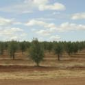 Experimental olive harvest: Rabadoa Ranch near Beja, Portugal