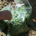 Experimental olive harvest: Samples are bagged