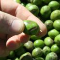 Experimental olive harvest: Injury, possible from impact on transport belt