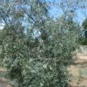 Experimental olive harvest: Post-Colossus harvested tree