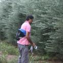 Experimental olive harvest: Trees are flagged prior to harvest