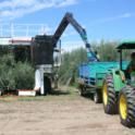 Experimental olive harvest: The harvest continues