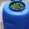 Experimental olive harvest: Harvested olives