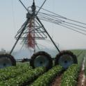 Overhead center pivot irrigation system irrigating cotton at Farming 'D' in Five Points, Calif.