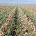 Cover crop growing in cotton and tomato residues.
