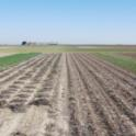 Experimental field in which conservation tillage with and without cover crops are being compared to standard tillage systems.