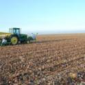 No-till tomato transplanting directly into cotton crop residue.