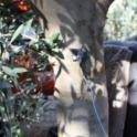 Neilsen harvester using a trunk-shaking Noli head in olive orchard: Instrument on trunk to test displacement