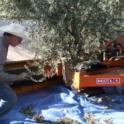 Neilsen harvester using a trunk-shaking Noli head in olive orchard: Uriel Rosa, UC agricultural engineer, observes harvester operation