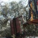 Hutchinson canopy-sharing harvester in olive orchard: in the row